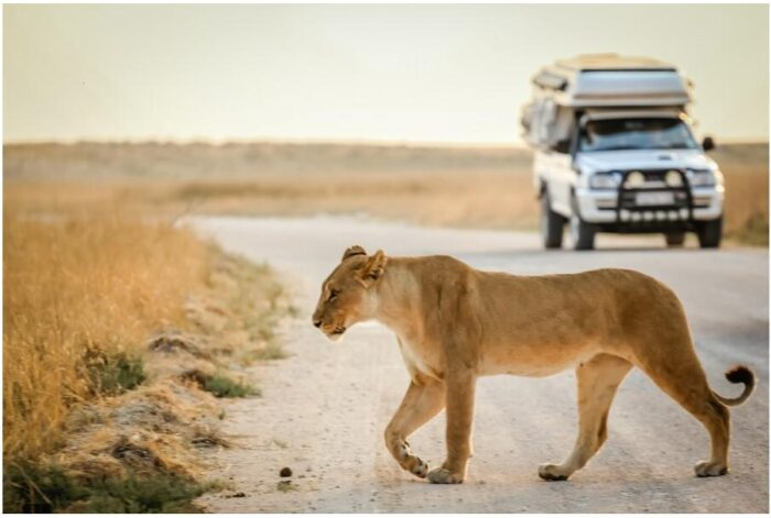 Lioness on a safari in South Africa